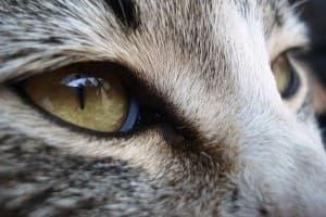 Пленка на глазах у кошки. Третье веко