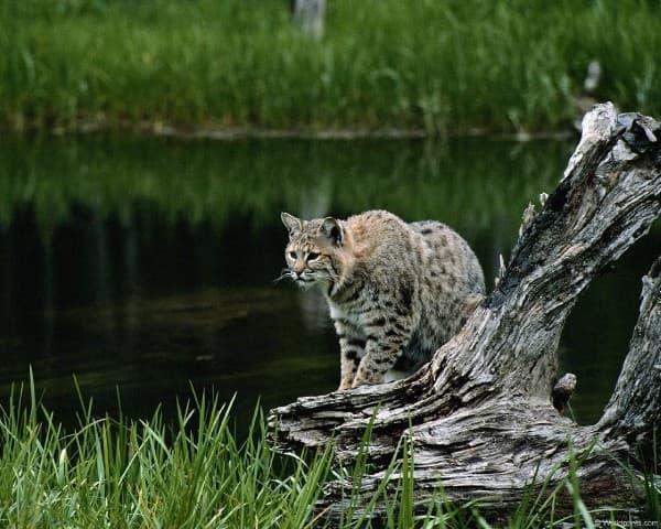 Камышовый кот охотится