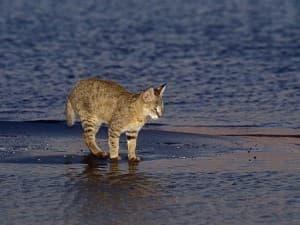 Уход за камышовым котом