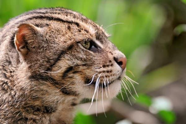 Настороженный камышовый кот