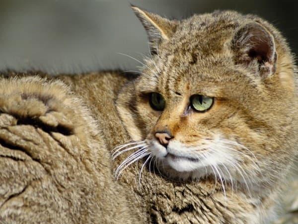 Красивый камышовый кот