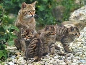 Камышовые котята