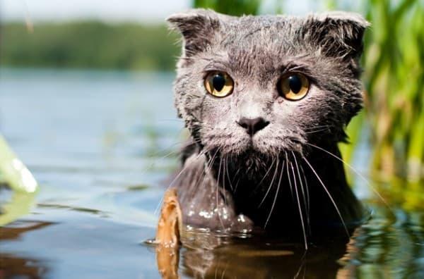 Камышовый кот в озере