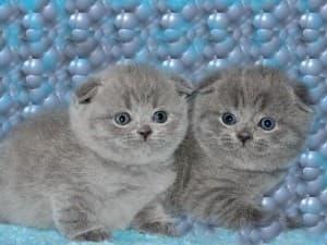 Определить пол котенка по окрасу