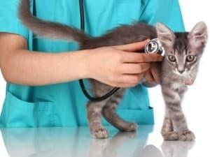 Как проводить осмотр котенка