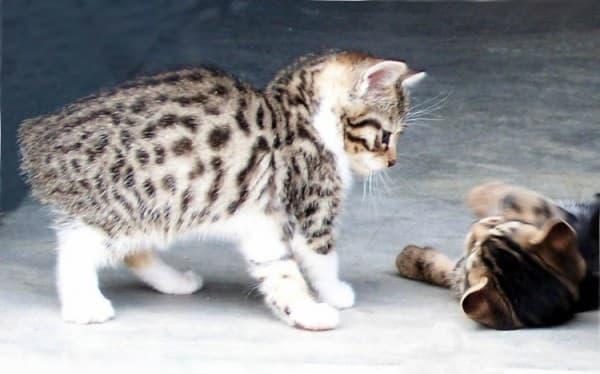 Котята мэнксы