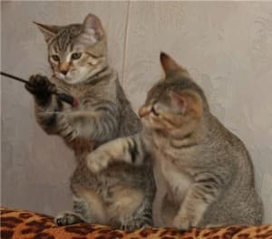 Характер мэнских кошек