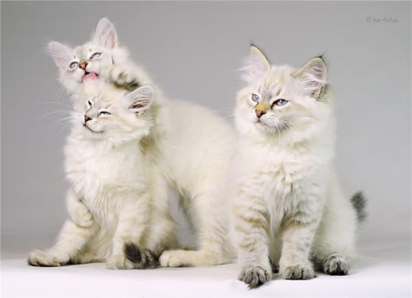Котята невской кошки