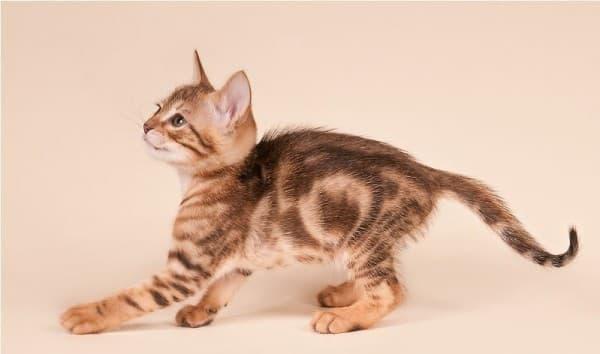 Котенок сококе