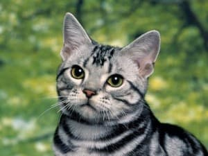 Характер американской короткошерстной кошки