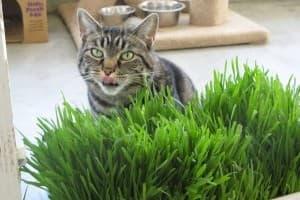 трава для кошек