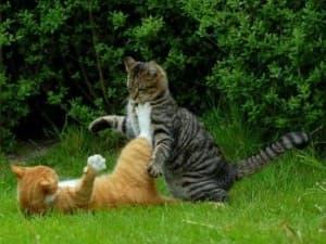 рычание котов друг на друга