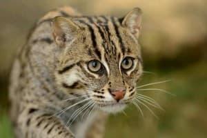 Виверровый кот рыболов