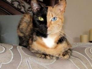 необычный окрас у кошки