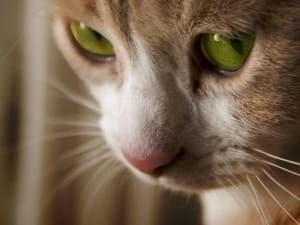 Причины бесплодия у кошек