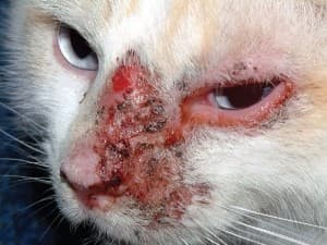 Виды дерматита у кошек
