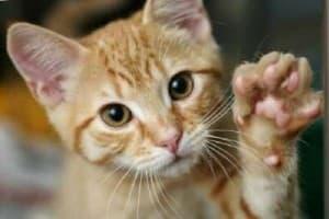 Отек легких у кошек