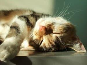 Причины отека легких у кошек