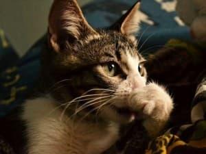 Симптомы простуды у кошек