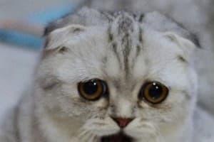 Бесплодие у кошек