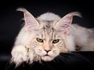 Почему котенка нужно приобретать только в питомнике