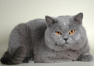 Особенности характера британской кошки