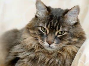 Признаки грибка у кошек