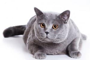 Ожирение у кошек