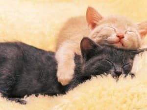 два сонных котика
