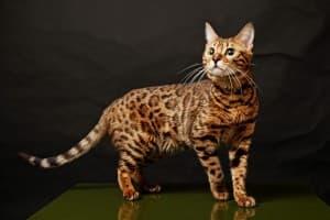 красивая шерсть у кошки