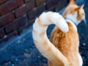 котик с красивым хвостом