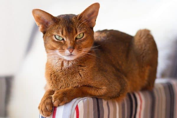абиссинская кошка длинношерстная