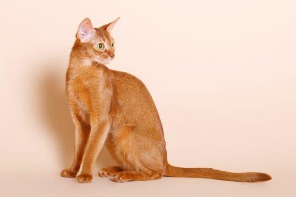 Абиссинская кошка цвета соррель
