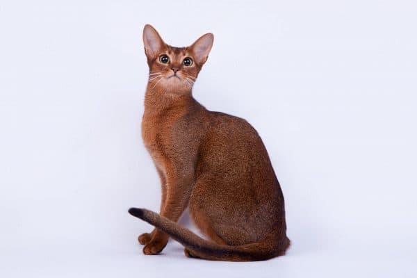 Абиссинская кошка дикого окраса