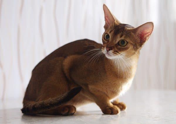 Абиссинская кошка фото
