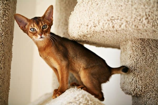 Абиссинская кошка стоит