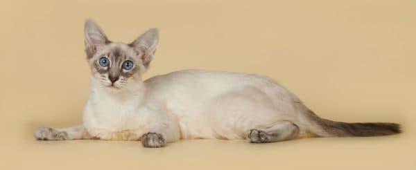 Балинез (балинезийская кошка)