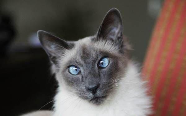 Балинезийская кошка читайте статью