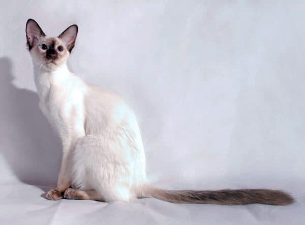 Балинезийская кошка красивое фото