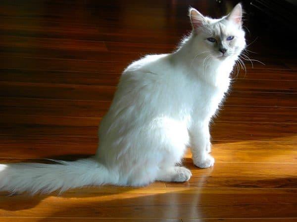 Балинезийская кошка лайлак-поинт