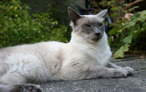 Балинезийская кошка описание