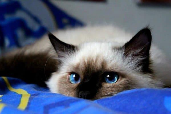 Бирманская кошка красивое фото