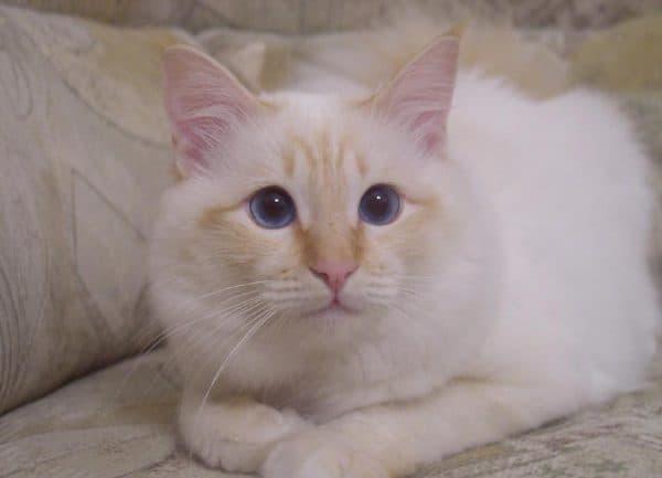 Бирманская кошка крем пойнт
