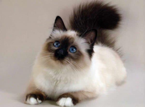 Бирманская кошка описание