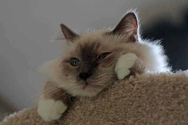 Бирманская кошка отдыхает