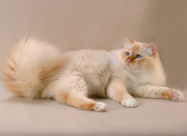 Бирманская кошка ред пойнт