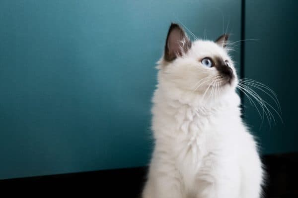 Бирманская кошка сидит
