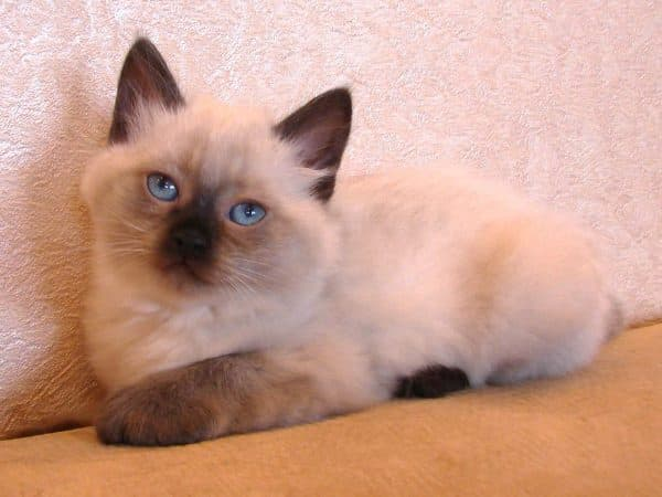 Бирманская кошка сил пойнт