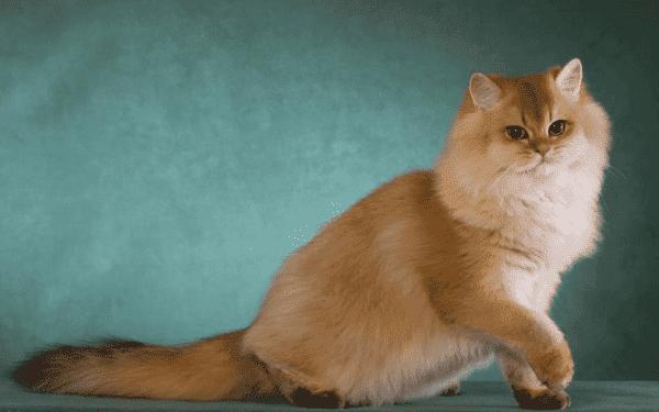 Британская длинношерстная кошка читайте статью