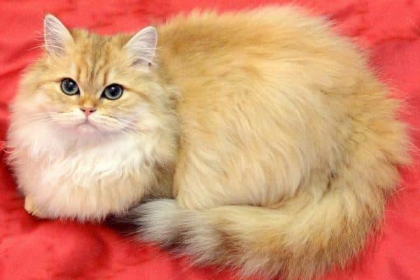 Британская длинношерстная кошка на красном